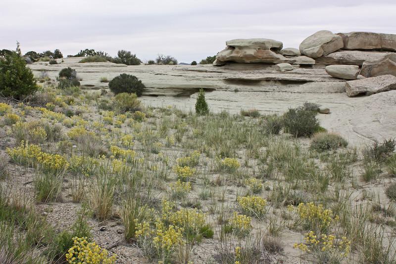 Salt Wash Vista Point, Utah - cryptantha