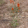 Another Utah vista point - desert mallow