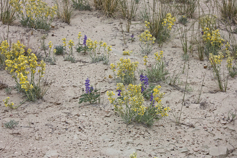 Salt Wash Vista Point, Utah - lupines and cryptantha