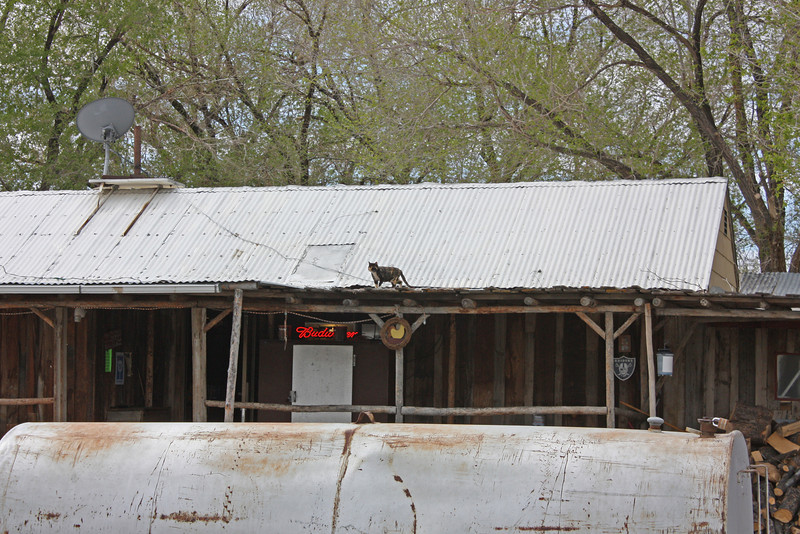 Middlegate, Nevada - cat on a cold tin roof