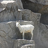 Denver Zoo - young Dall's sheep