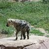 Denver Zoo - hyena