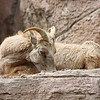 Denver Zoo - young bighorn sheep