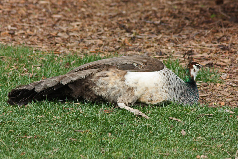 Denver Zoo - nobody's taking photos of the peahen but me