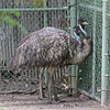 Denver Zoo - emus