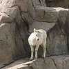 Denver Zoo - Dall's sheep, lamb