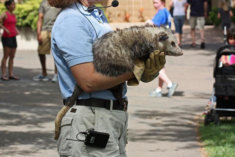 Denver Zoo - opossum