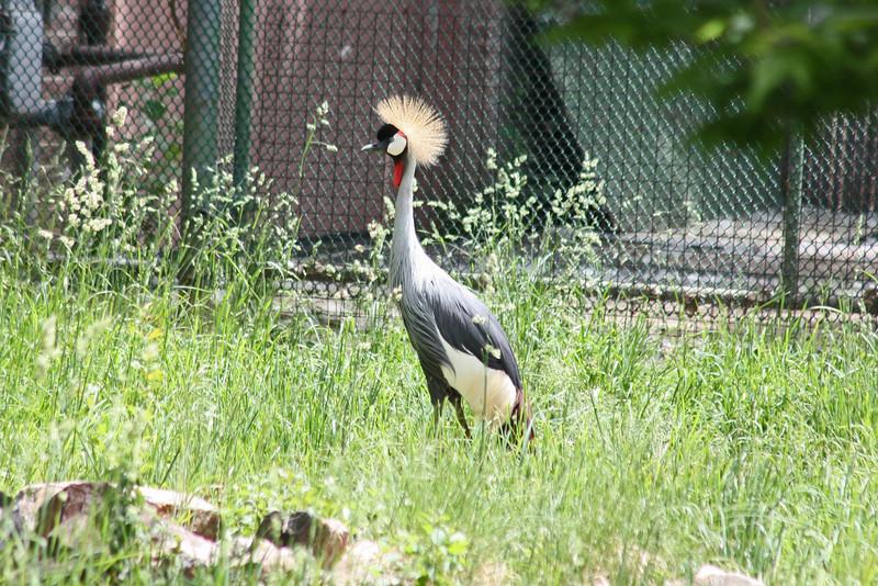 Denver Zoo - crowned crane