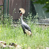 Denver Zoo - crowned crane