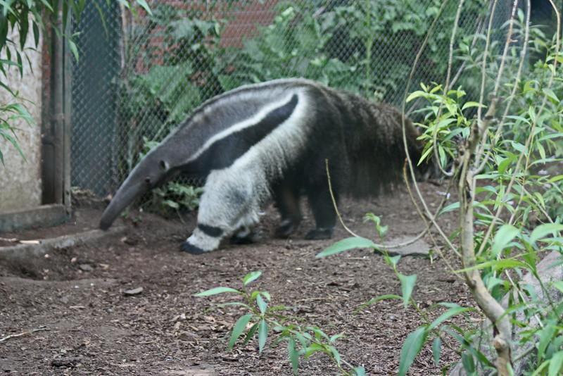 Denver Zoo - giant anteater