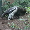 Denver Zoo - giant anteater