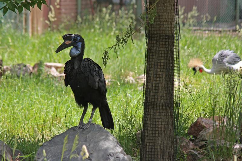 Denver Zoo - Abyssinian ground hornbill