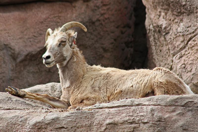 Denver Zoo - young bighorn sheep