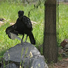 Denver Zoo - Abyssinian ground hornbill