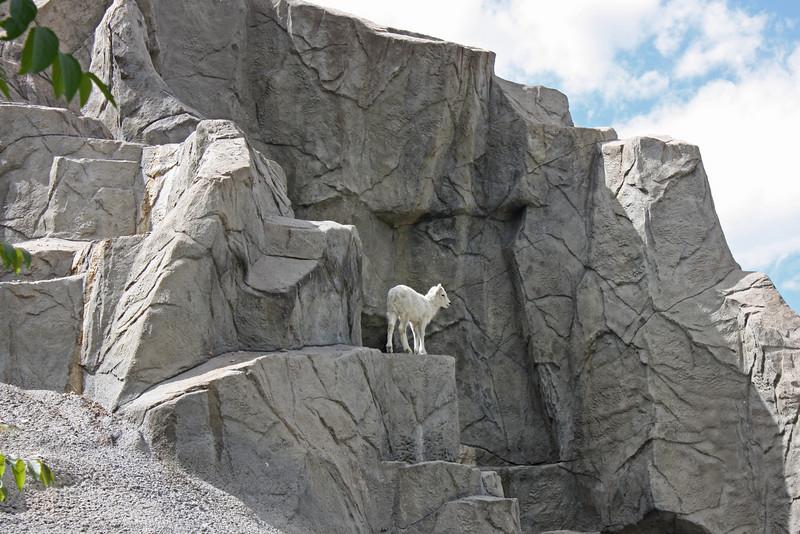 Denver Zoo - Dall's sheep, lamb