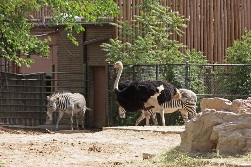 Denver Zoo - ostrich and zebras