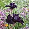 Denver Botanical Garden - dark purple iris