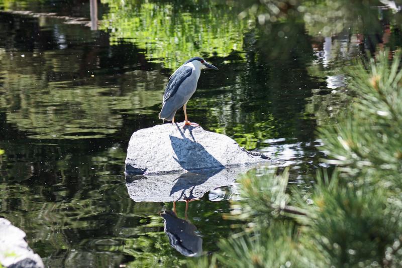 Denver Botanical Garden - black crowned night heron