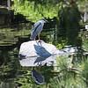 Denver Botanical Garden - black crowned night heron