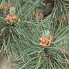 Denver Botanical Garden -  pine needles and male flowers