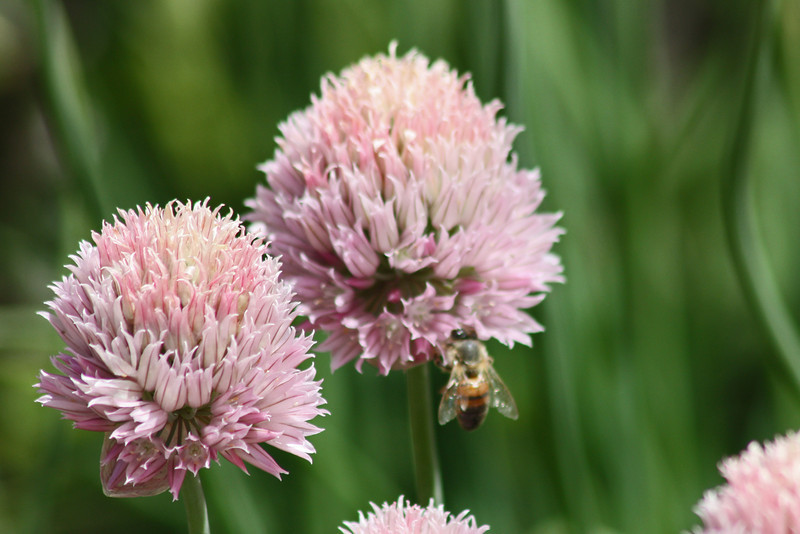 Denver Botanical Garden - see the bee?