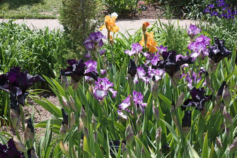 Denver Botanical Garden - iris beds