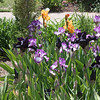 Denver Botanical Garden - iris beds