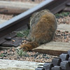 View from Pike's Peak cog railway - going down - marmot on the tracks