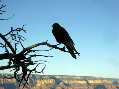 Raven at the Grand Canyon