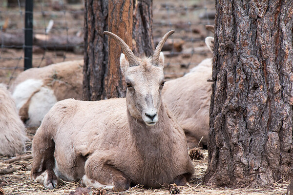 2017-05-07  Big Horn Sheep