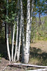 Quaking Aspen on the north rim of the Grand Canyon.<br /> <br /> Photo by Deb
