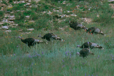 Use of the 250mm on the T3i brought the wild turkeys a little closer.