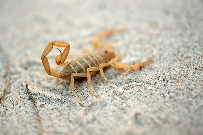 Caught scorpion modeled for a picture.