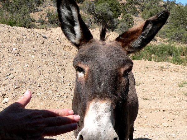 meeting a friendly wild burro on the road down into the Grand Canyon