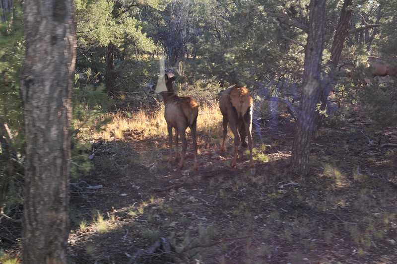 Elk photographed from inside the trolley