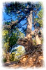 An old pine tree on the North Rim of the Grand Canyon in Arizona; detail in this image is better viewed in a larger size