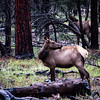 Elk were everywhere, this one was bugling
