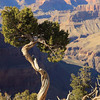 3/19 4:35pm - A gnarled tree overseeing Grand Canyon