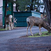 mule deer in our campground early morning