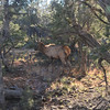 Elk photographed from inside the trolley - one male and a harem