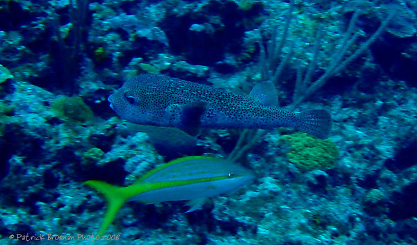 Puffer Fish, Yellow Snapper
