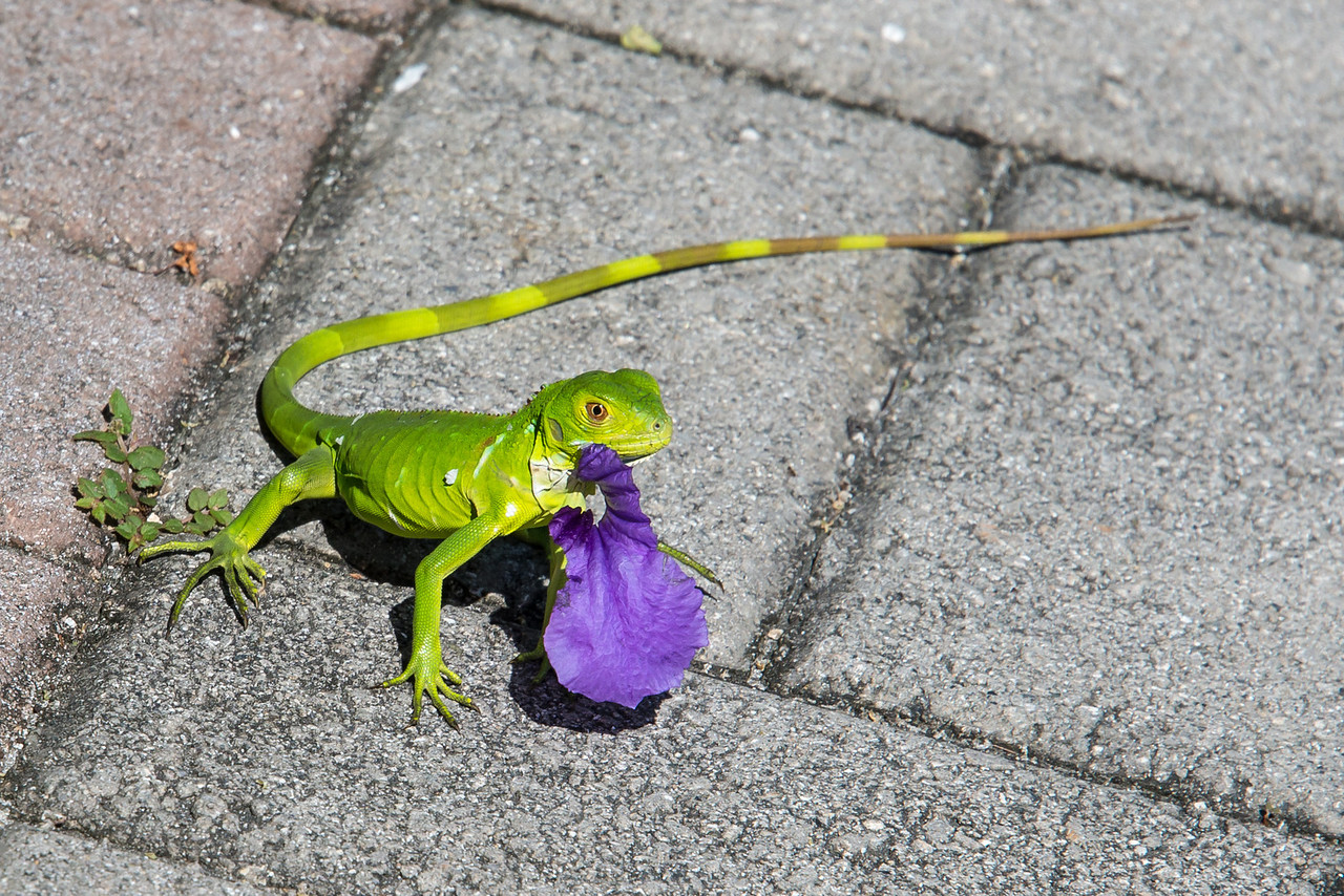 Vibrant green lizard munching on a flower petal, Grand Cayman - November 2013