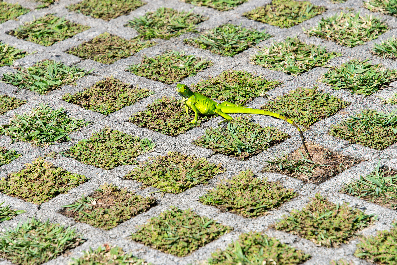 Very green lizard, Grand Cayman - November 2013