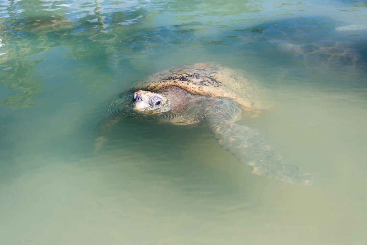 Turtle Farm, Grand Cayman - November 2013