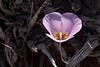 The ubiquitous snekey purple flower growing in woody mine debris.  100505_5560
