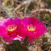 Came across a cactus plant putting forth some vivid magenta blooms.