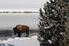 Our first buffalo sighting along the Madison River in Yellowstone.