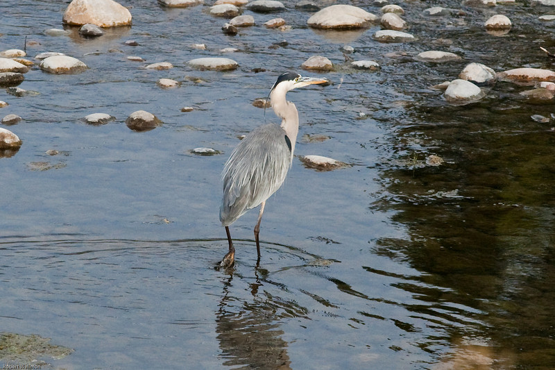 4M9F9004-1. Great Blue Heron feeding in the Snake River.