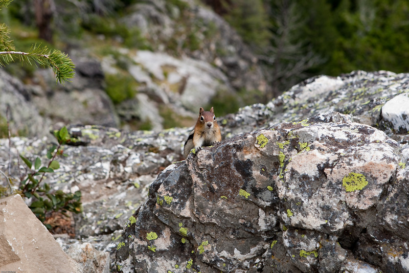 4M9F9186-1. Chipmunk looking for food from the hikers who stop for lunch at the top of Inspiration Point.