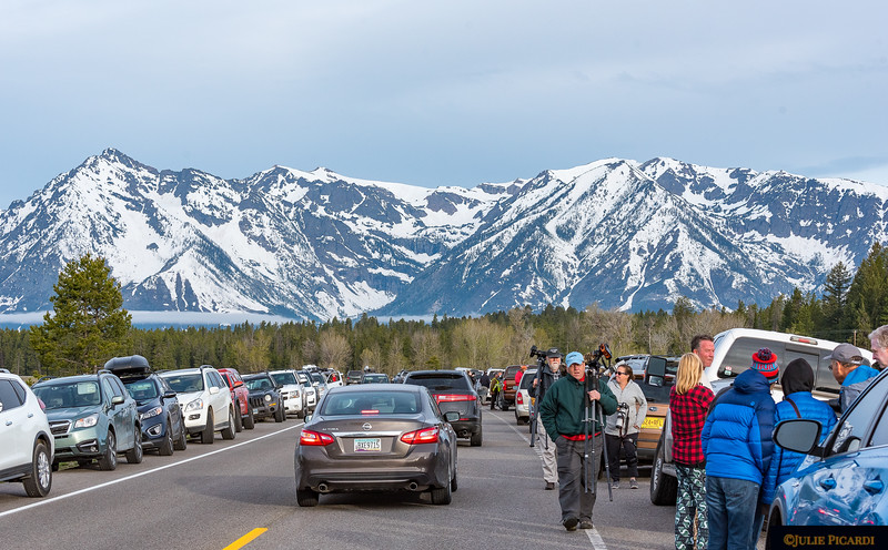 Bear jam at dawn in Teton National Park. Photographers converge, jostling for the best angle of #399 and Blondie #793.